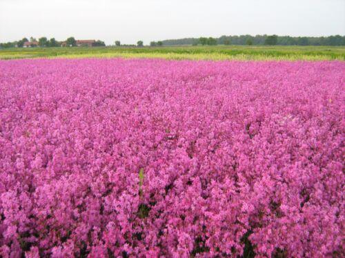 Lychnis viscaria pechnelke plus de 200 Graines Fleur sauvage