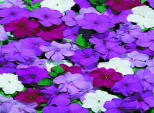 50-Impatiens-Seeds-Cascade-Beauty-Blues-Mix-Seeds-trailing