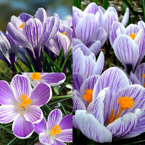 32499ea85557c Image is loading 100-CROCUS-BULBS-Pickwick-Striped-IN-THE-GREEN-