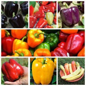 Seeds Sweet Bell Pepper Banana Horse Bilozerka Oda Rainbow Red Yellow Organic