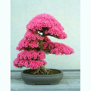 Judas-tree-Cercis-siliquastrum-40-bonsai-seeds-RARE-TREE