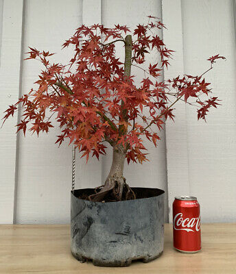 Green Japanese Maple Momiji Big Thick Trunk Bonsai Tree Nebari Specimen Ebay