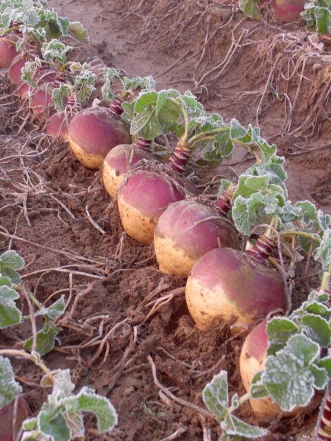 Swede Tweed F1 100 seeds  - Club root resistant - Vegetables/Fruits