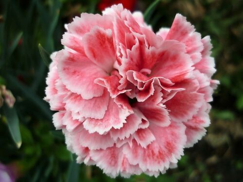100 Regenbogen Nelke Mix Gemischt Farben Dianthus Caryophyllus Blumensamen