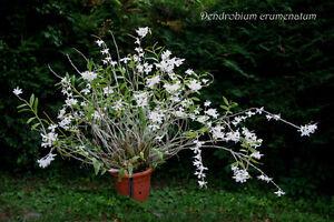 Rare-Orchid-species-Seedling-plant-Dendrobium-Crumenatum