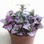 Fittonia-Verschaffeltii-Bonsai-Mini-Balcony-Potted-Flowers-Garden-100-Pcs-Seeds thumbnail 6