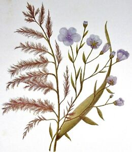 Vintage Floral Art Print Color Plate Flax Flower Seed Bible