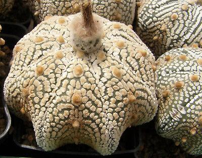 Astrophytum ornatum cv /'Fukuriyo Hania/' 25 seeds