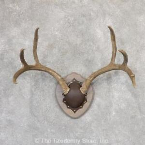 Antlers For Sale >> Details About 19003 P Mule Deer Antler Plaque Taxidermy Mount For Sale