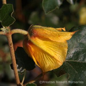 Fremontodendron-California-Glory-Evergreen-Summer-Flowering-Climbing-Plant