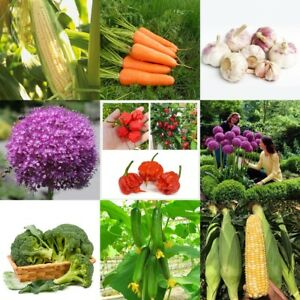 1500 Samen Kohl-Brokkoli Violett Späte Gemüsegarten Gemüse Pflanzen