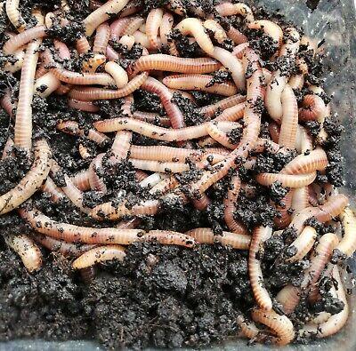 Futter Würmer Dendrobena//Rotwürmer Mini 800 St.=250 g Gratis Wurmerde