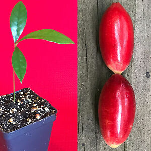 Miracle-Fruit-Synsepalum-dulcificum-Miracle-Berry-Fruit-Seedling-PLANT-Tree