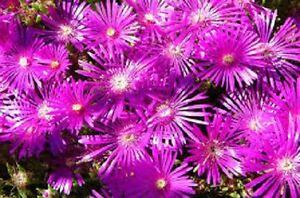 50-DELOSPERMA-FLORIBUNDA-STARDUST-ICE-PLANT-FLOWER-SEEDS-PERENNIAL