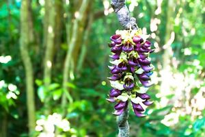 Mucuna Monosperma Seeds Woody Climbing Vine Purple Tropical Flower