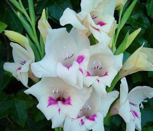 Free UK Postage 10x Gladioli /'Carine/' White Gladiolus Corm Ready-To-Plant