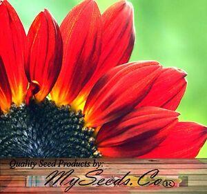 VELVET QUEEN Sunflower Seeds - Velvety, dark mahogany-red BORDERS or CUT FLOWERS