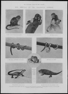 1902-Antique-Print-LONDON-Zoological-Gardens-Monkey-Snake-Frog-Iguana-191