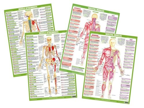 Muscle Anatomy Poster Posterior Muscle Attachment Skeleton Chart Fitness Gym