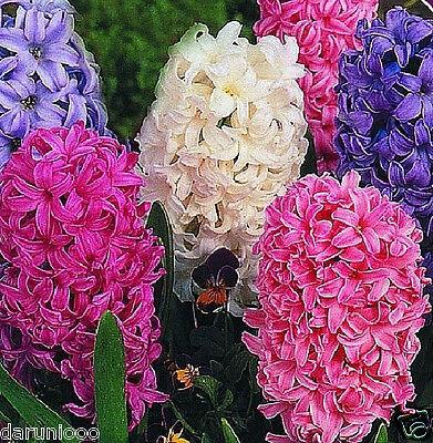 6 HYACINTHS MIXED GARDENING BULB BEAUTIFUL SPRING SUMMER FLOWER PERENNIAL BEES