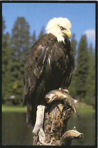 Bald-Eagle-Clutches-Rainbow-Trout-Montana-MT-Vintage-Postcard