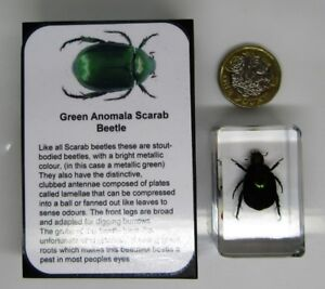 Real insects scarab beetle in crystal clear resin  information card on gift box