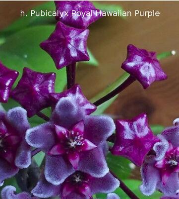 "Hoya pauciflora /""cutting/"""