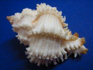 Murex-Hexaplex-stainforthi-08