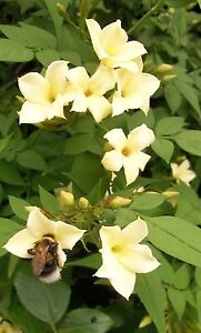 0f2884af Image is loading Jasmine-officinale-Clotted-Cream-rich-cream-scented-summer-
