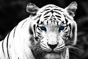 Image Is Loading Blue Eyes White Tiger Home Decor Canvas Print