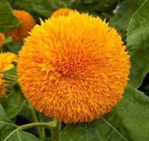 SUNFLOWER Sun Gold Dwarf 1000 seeds