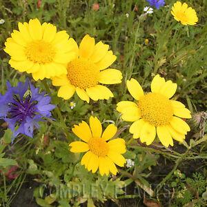 CORN-MARIGOLD-NATIVE-ANNUAL-WILDFLOWER-600-SEEDS-wild-flower-seed