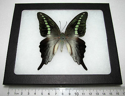 Beautiful Framed and Preserved Butterflies and Moths for Display ...