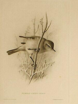 1909 British Warblers Print Female Chiff Chaff ~ GrÖnvold Art Prints