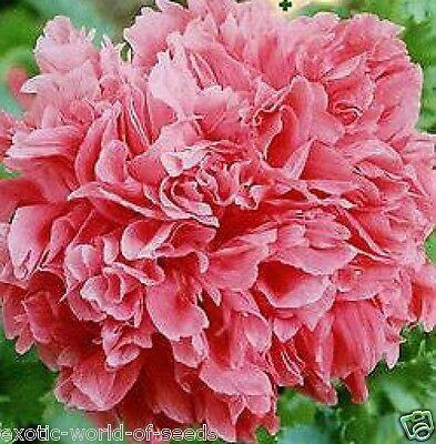 "RUSSIAN POPPY ""SUNRISE"" SEEDS PINK ROSE-LIKE DOUBLE  FLOWERS"