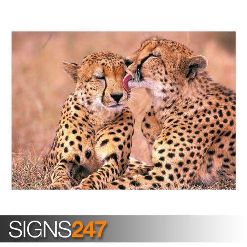 SOUTH AFRICAN CHEETAHS Animal Poster 3432 Poster Print Art A0 A1 A2 A3 A4