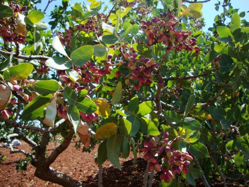 Turkish Antep Pistachios GENUINE PISTACIA VERA Tree 2019 AUGUST Fresh 25 Seeds