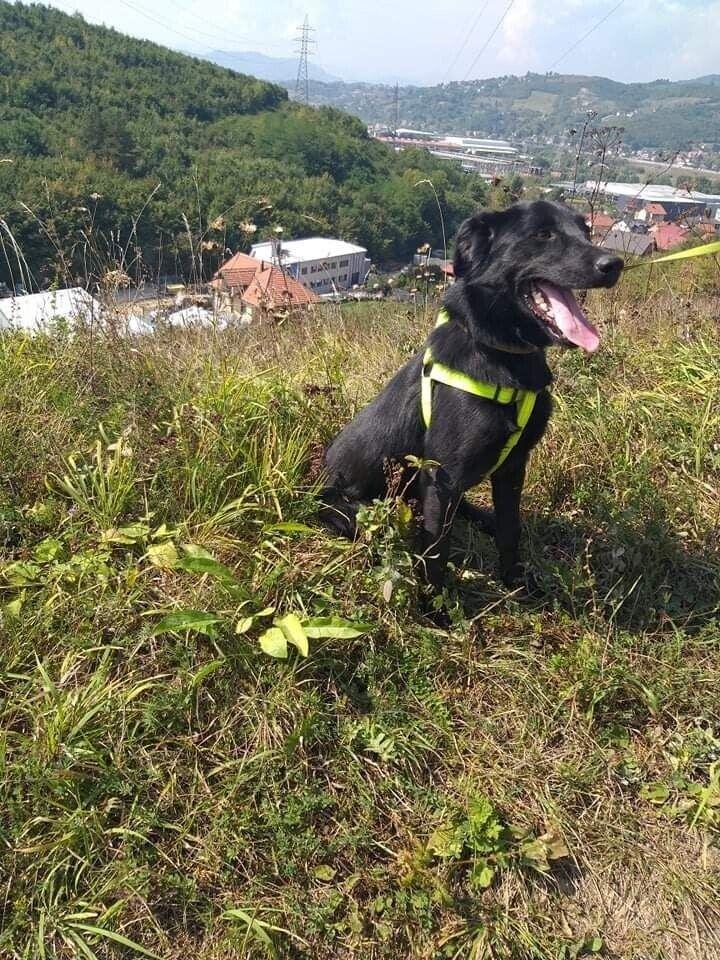 Labrador mix, hund, 2 år