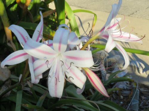Crinum Lily Marcelle Sheppard medium-size bulb rare NEW petite