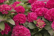 "Cityline Paris®  Hydrangea macrophylla - Intense Red - Proven Winners - 4"" Pot"