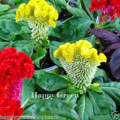 COCKSCOMB MIX Dwarf - 600 SEEDS - Celosia Cristata nana - ANNUAL FLOWER