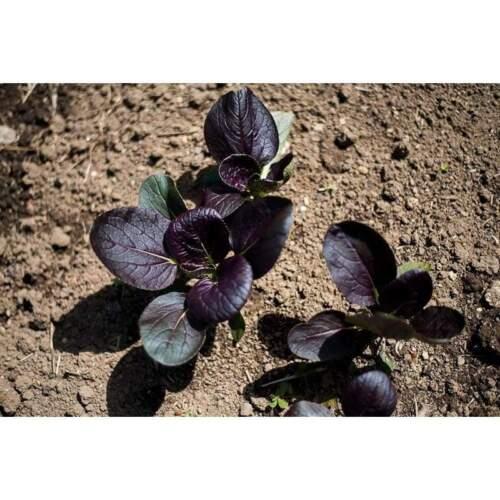 PAK CHOI PURPLE EARLY F1 Hybrid 50 Seeds vegetable garden BOK CHOY ASIAN veggie