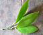 Hoya-young-house-plant-or-unrooted-cutting miniatuur 67