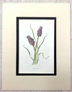 1913-Antico-Botanico-Stampa-Uva-Giacinto-Fiore-Viola-Blu-Floreale-Art