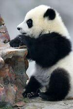 Giant Panda Baby Bear Wild Asian Animal Art Poster 15'' x 23''