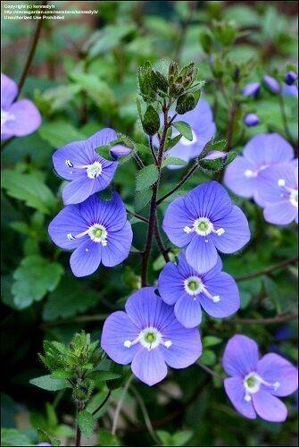 50+ OXFORD BLUE CREEPING SPEEDWELL FLOWER SEEDS/PERENNI