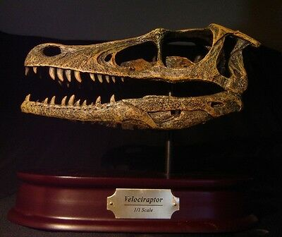 Velociraptor Dinosaur Raptor Skull Museum Model Replica