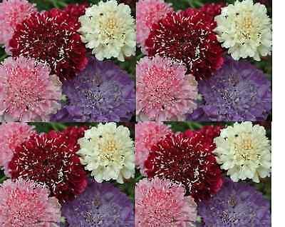 SCABIOSA Tall Double Flower Mix 100 seeds. 'Pin Cushion'. Cut flower