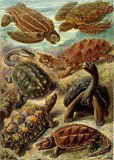 Ernst Haeckel Chelonia Tortoise Turtle Painting 8x10 Real Canvas Art Print