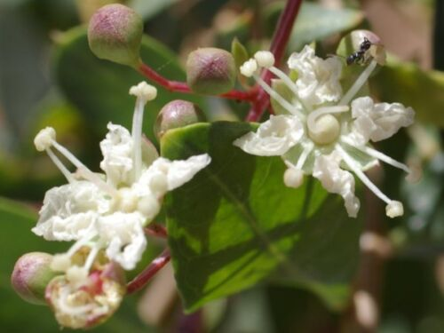 60 graines de Henné Arabe G109 HENNA MIGNONETTE TREE SEED SEMI Lawsonia Inermis